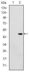 FALZ Antibody (MA5-15842) in Western Blot