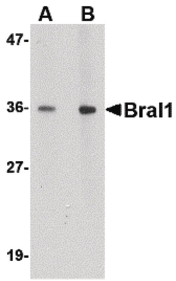HAPLN2 Antibody (PA5-20497) in Western Blot