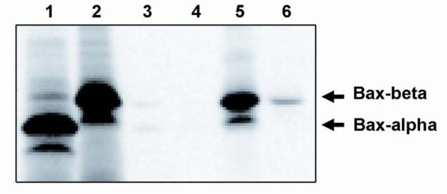Bax Antibody (PA1-12602)