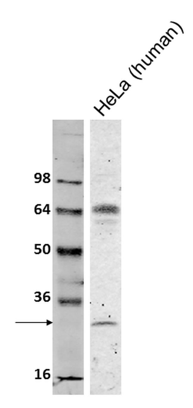 Bcl-2 Antibody (13-8800) in Western Blot