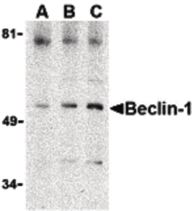 Beclin 1 Antibody (PA5-20171) in Western Blot
