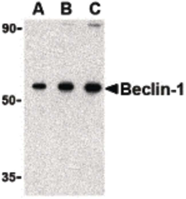 Beclin 1 Antibody (PA5-20172) in Western Blot