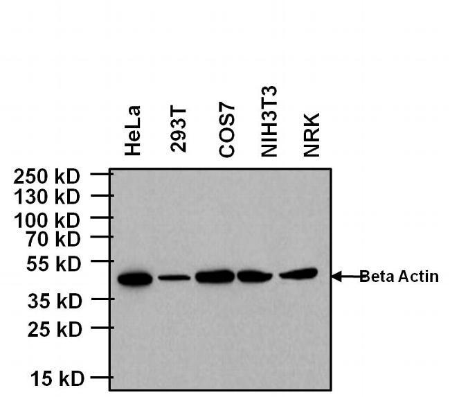 KLRB1 Antibody (MA5-17539)
