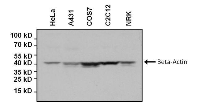 beta Actin Loading Control Antibody (MA5-15739-BTIN)