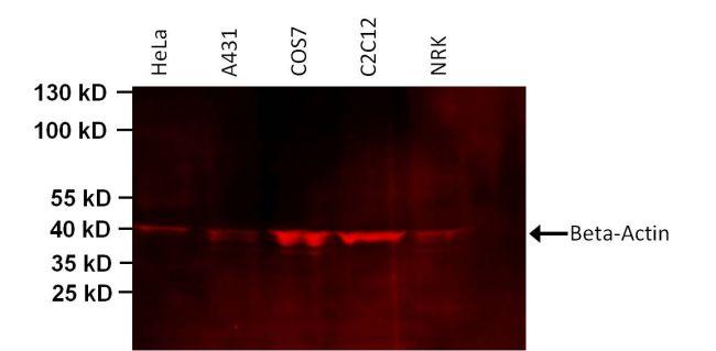 beta Actin Loading Control Antibody (MA5-15739-D680) in Western Blot
