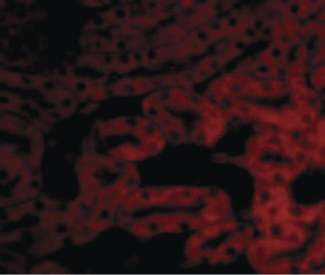 BCL2A1 Antibody (PA5-20268) in Immunofluorescence