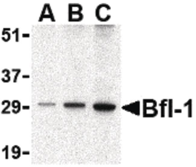 BCL2A1 Antibody (PA5-20268) in Western Blot