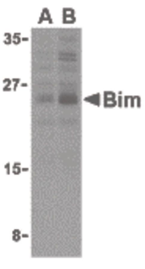 Bim Antibody (PA5-20089) in Western Blot