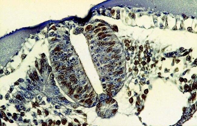 BrdU Antibody (MA1-19213)