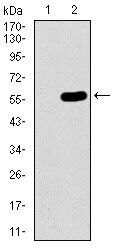 C17orf53 Antibody (MA5-17037) in Western Blot