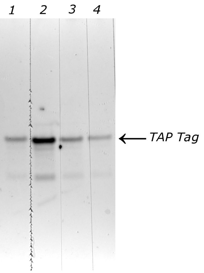 TAP Tag Antibody (CAB1001)