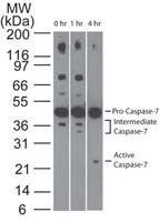 Caspase 7 Antibody (MA1-41281) in Western Blot
