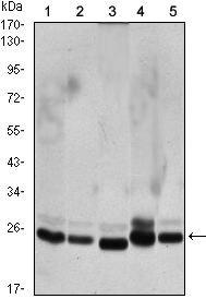 HP1 beta Antibody (MA5-15582)