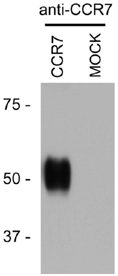 CCR7 Antibody (PA3-202)