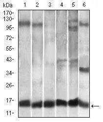 MCP-1 Antibody (MA5-17040) in Western Blot