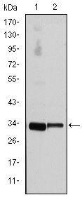 Cyclin D3 Antibody (MA5-15829)