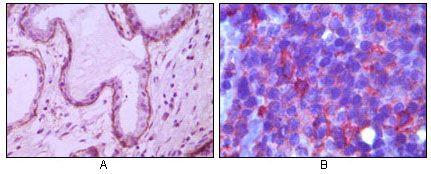 CD10 Antibody (MA5-15231)