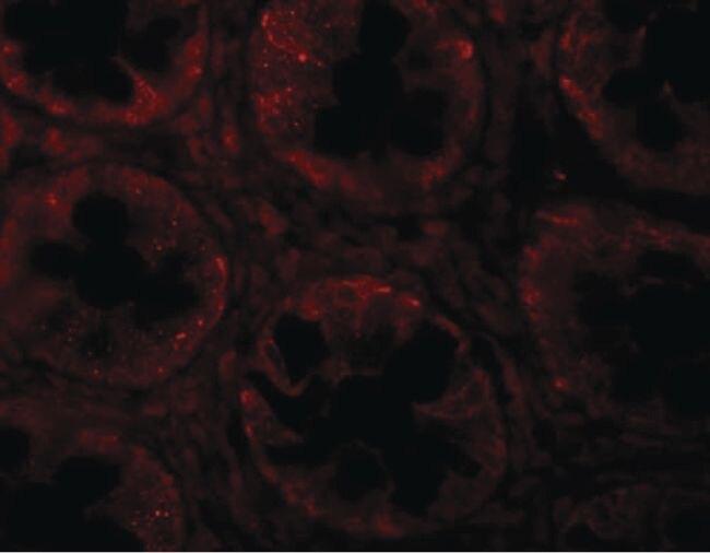 CD150 Antibody (PA5-21123)