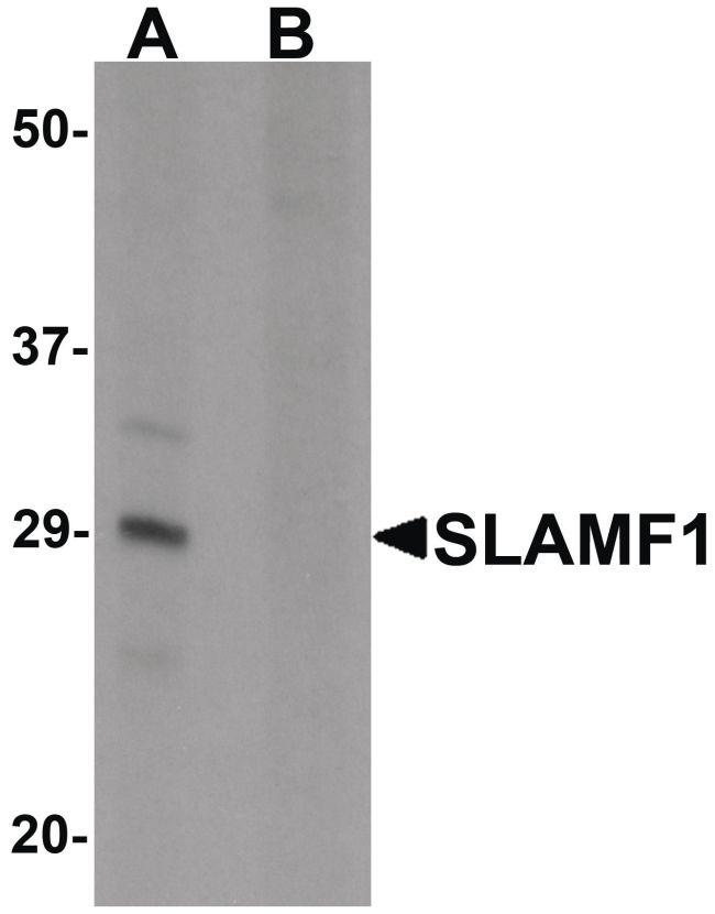 CD150 Antibody (PA5-21123) in Western Blot
