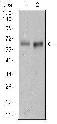 CD166 Antibody (MA5-17028) in Western Blot
