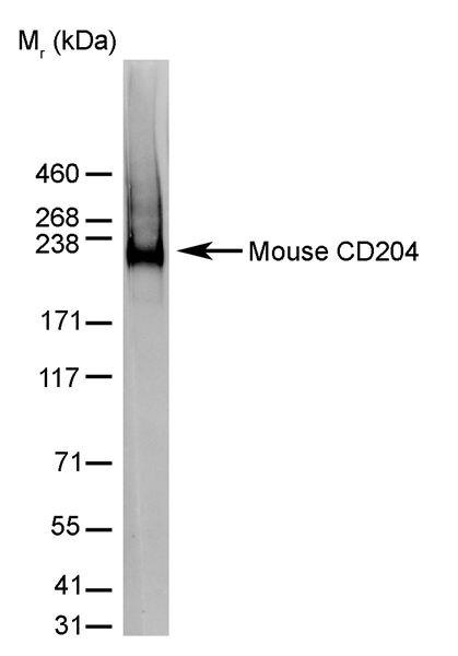 CD204 Antibody (MA5-16492) in Western Blot