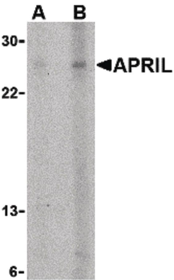 APRIL Antibody (PA5-19942) in Western Blot