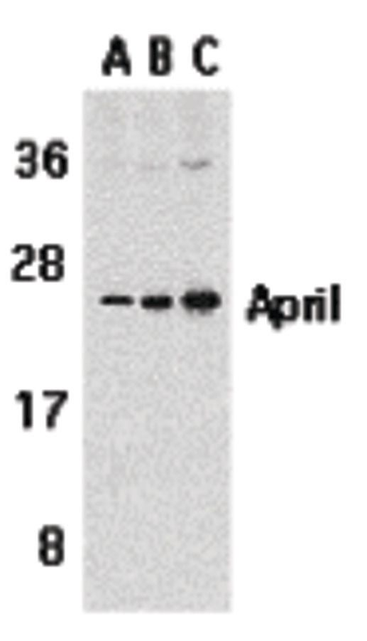 APRIL Antibody (PA5-19976) in Western Blot
