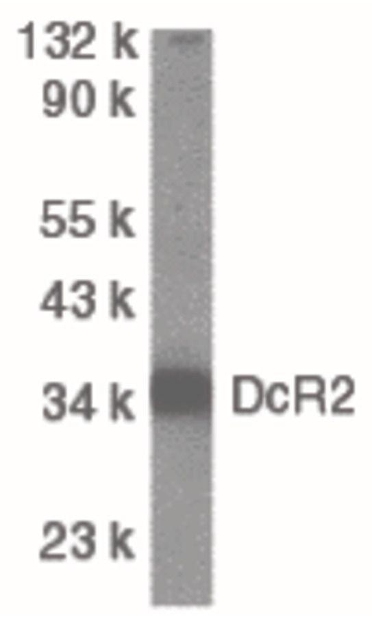 CD264 Antibody (PA5-19896) in Western Blot