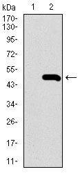 BMPR1A Antibody (MA5-17036) in Western Blot