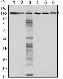 E-cadherin Antibody (MA5-15717)