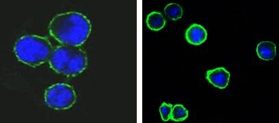 CD37 Antibody (MA5-15492)