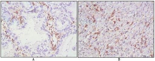 CD38 Antibody (MA5-15570)