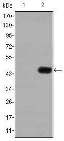 CEA Antibody (MA5-15800) in Western Blot