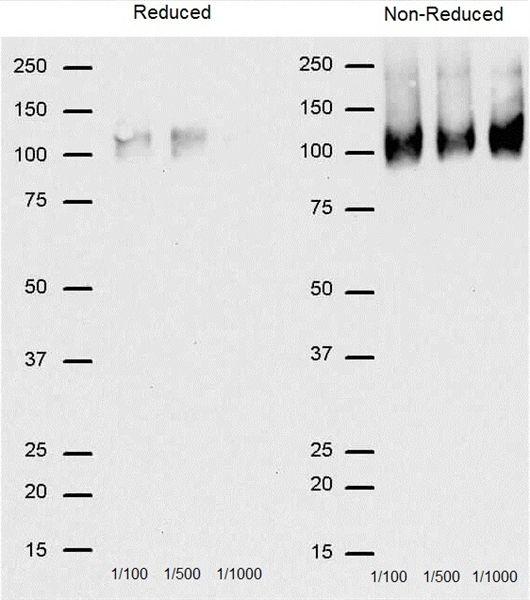 CD68 Antibody (MA5-16674) in Western Blot