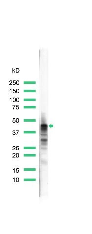 CD79a Antibody (PA5-32333) in Western Blot