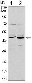 CD86 Antibody (MA5-15697) in Western Blot