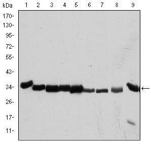 CDK1 Antibody (MA5-15823)