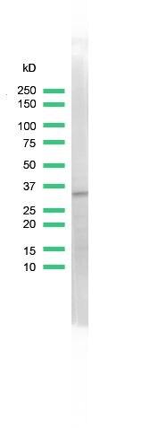 CDK2 Antibody (MA5-16346) in Western Blot