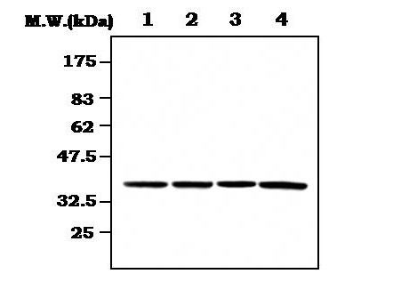 CDK7 Antibody (MA5-17209) in Western Blot