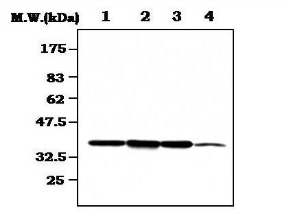 CDK7 Antibody (MA5-17210) in Western Blot