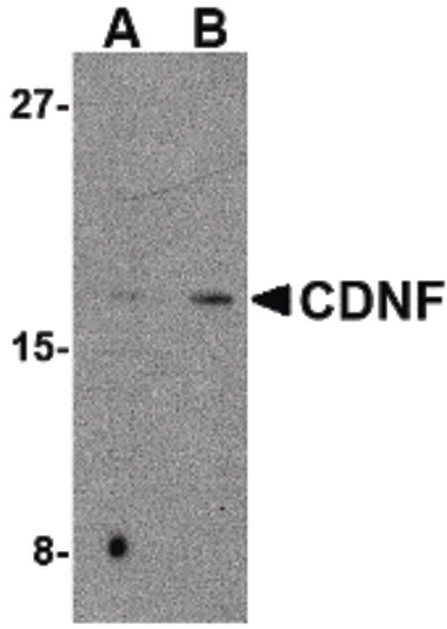 CDNF Antibody (PA5-20429) in Western Blot