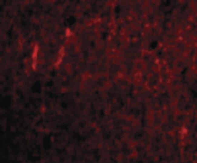 CDNF Antibody (PA5-20430) in Immunofluorescence