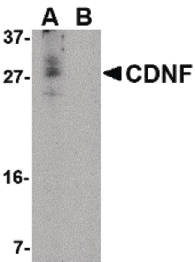 CDNF Antibody (PA5-20430) in Western Blot