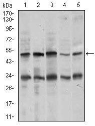 Chromogranin A Antibody (MA5-17056) in Western Blot