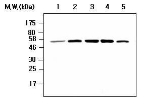 Chk1 Antibody (MA5-17237)