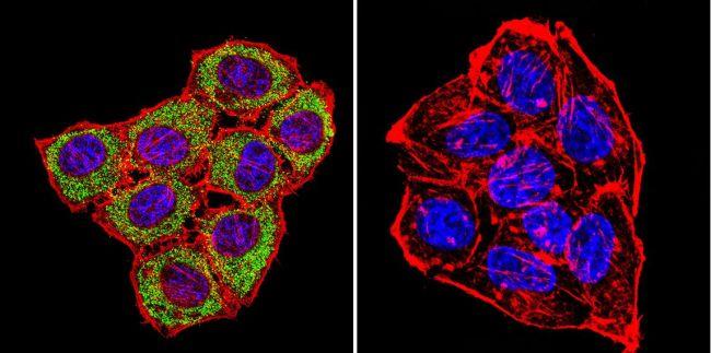 CNGA1 Antibody (MA3-901)