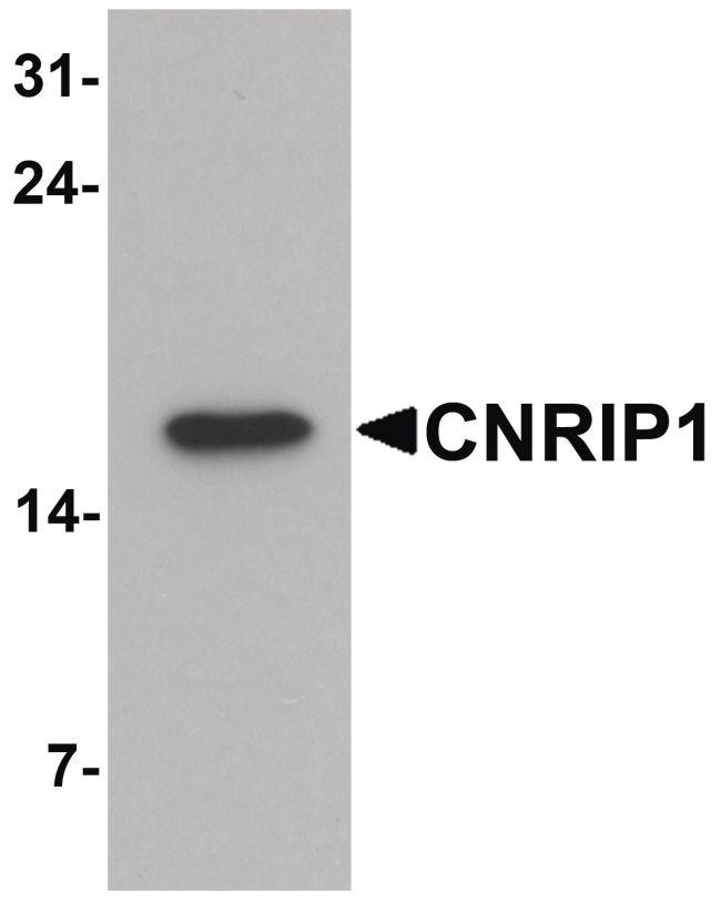 CNRIP1 Antibody (PA5-34546) in Western Blot