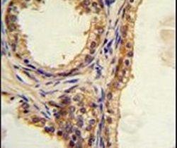 CREB3L1 Antibody (PA5-13537) in Immunohistochemistry