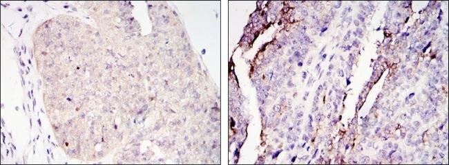 Torc2 Antibody (MA5-15710) in Immunohistochemistry