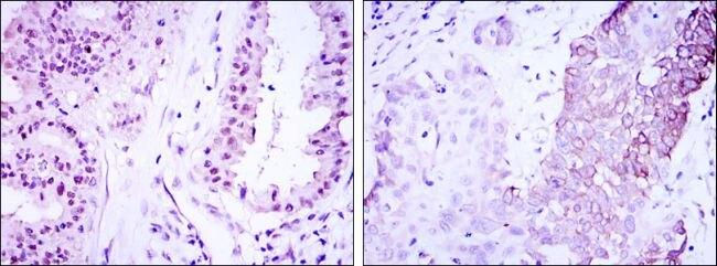 Torc3 Antibody (MA5-15812) in Immunohistochemistry
